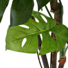 Planta deonstera artificial conaceta 130cm...