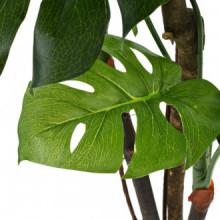 Planta deonstera artificial conaceta 170cm...
